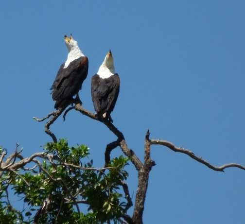 Fish Eagle Pair