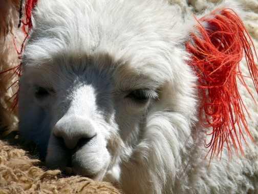 tired llama