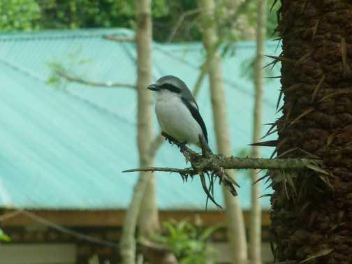 Pied crow - L Bunyoni