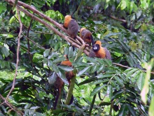 Golden-mantled Tamarins shot in the pouring rain next to the lodge.