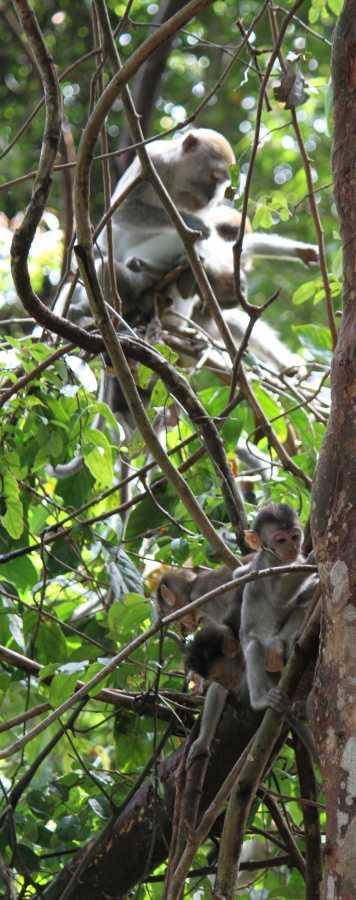 Gunung Leuser NP - macaque nursery