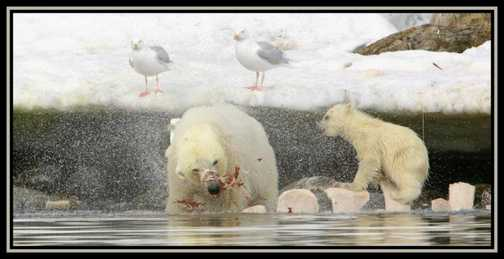Polar Bear & Cub 3