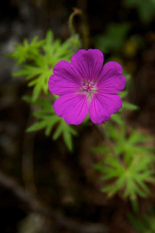 Flowers - Bloody Cranesbill