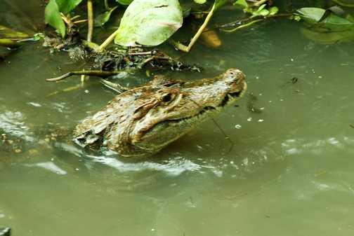 Crocodile Panama Canal