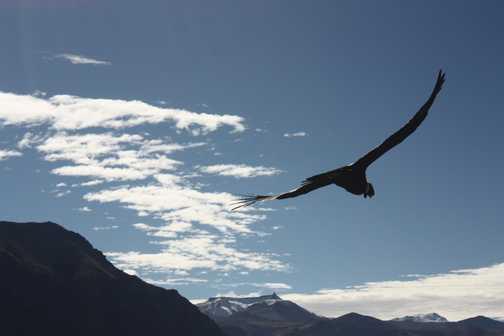 Condor at Colca