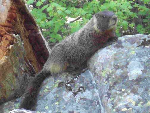 Martin the Marmot - Death Canyon Jackson Hole