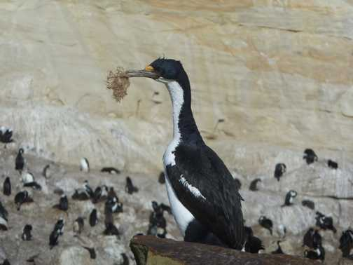 Blue Eyed Shag Nest Building