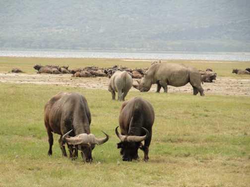 White And Black Rhinos