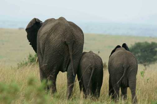 Family of elephants on the move in the Masai Mara.