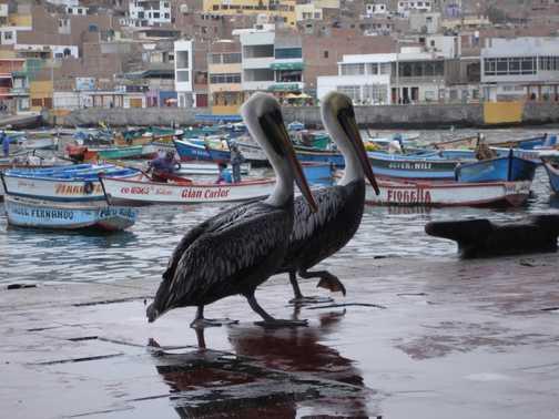 Pelicans at Pucusana
