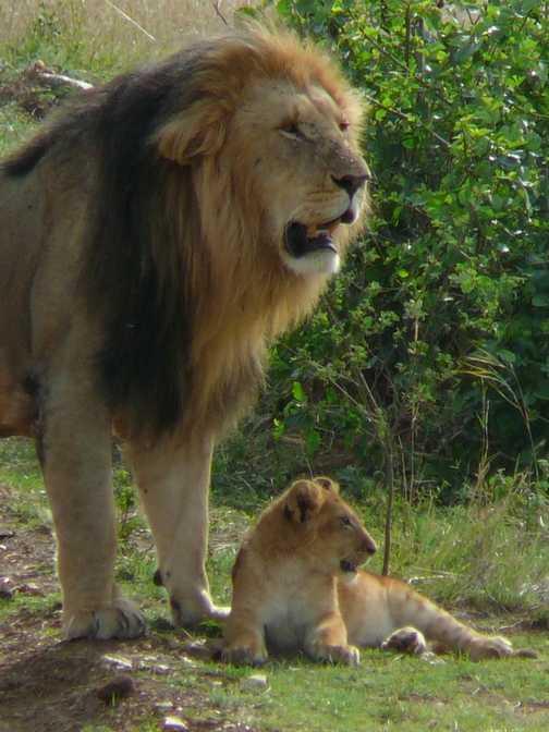 Male lion and cub, masai mara game reserve.