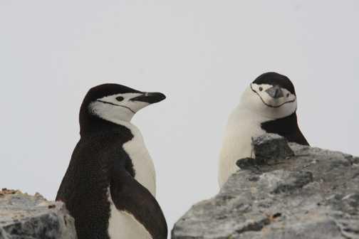 chinstrap penguins - orne harbour