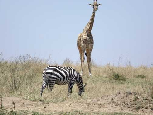 zebra and masia girraff in mara