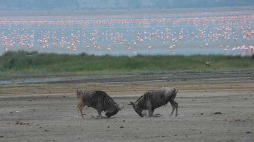 Ngorongoro crater .... fighting wildebeest ... with flamingo backdrop
