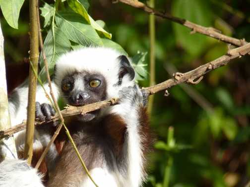 Baby Coquerel's Sifaka