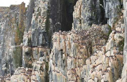 Thousands of Nesting Guillemots - Cape Fanshawe