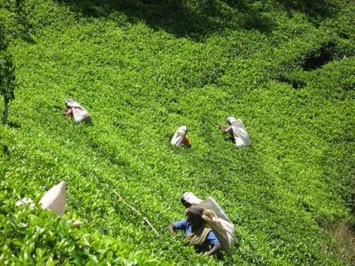 Tea Pluckers in action