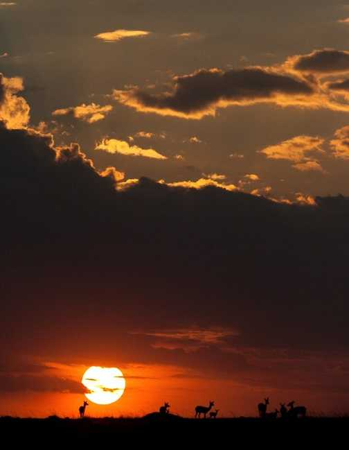 gazelle sunset