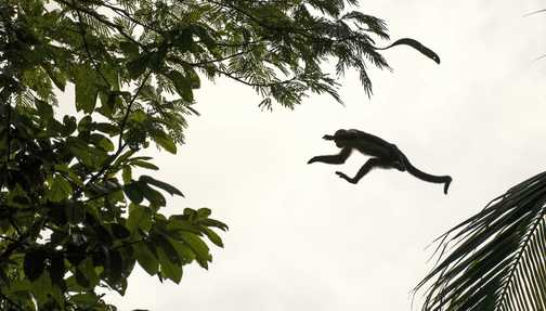 White faced capuchin monkey, big leap from small monkey.