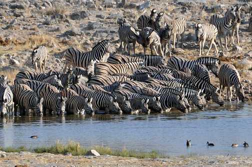 Zebra at waterhole - Etosha