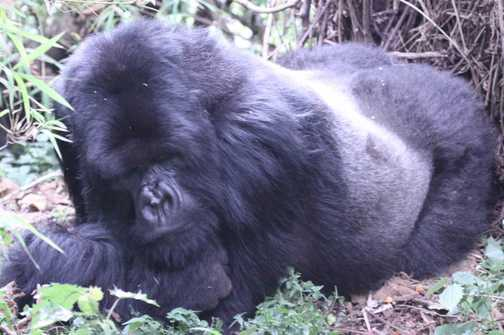 the silverback in pensive mood(when are they going?)