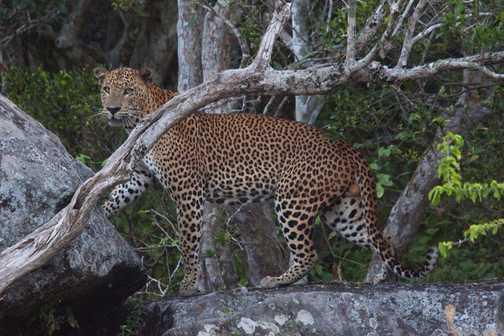 Posing Leopard - Sri Lanka