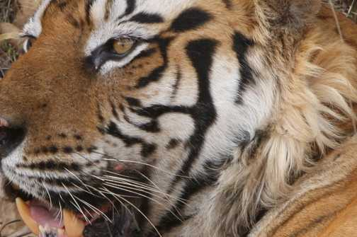 Eye of the Bengal Tiger