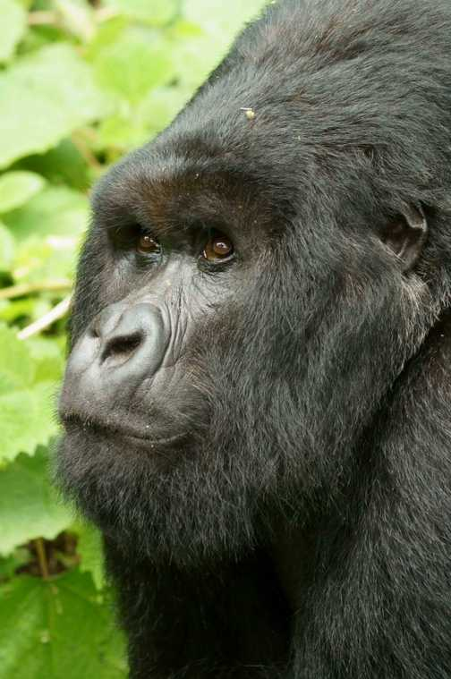 Second of 4 silver-backs in the group of 22 gorillas we were privileged to spend time with in Rwanda