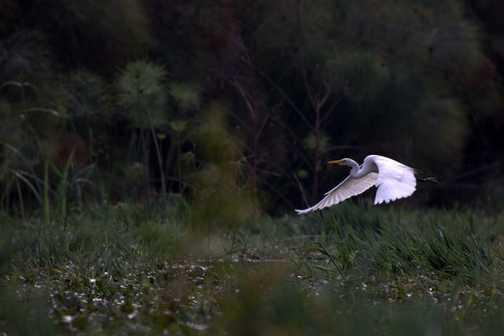 _Great White Egret - Lake Naivasha