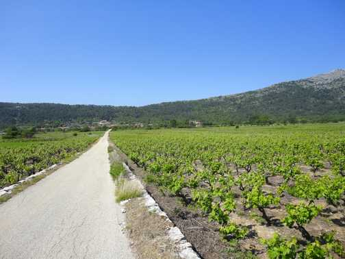 CYCLING THROUGH THE VINEYARDS ...