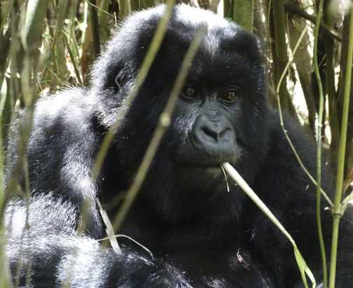Young sub adult Gorilla.