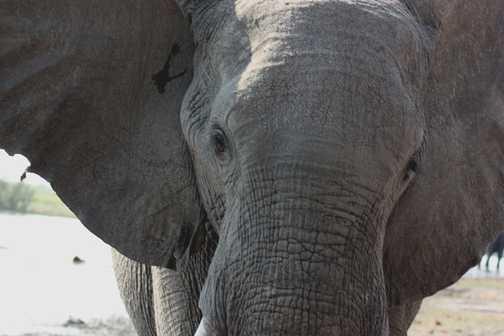 Elephant close-up - Linyanti