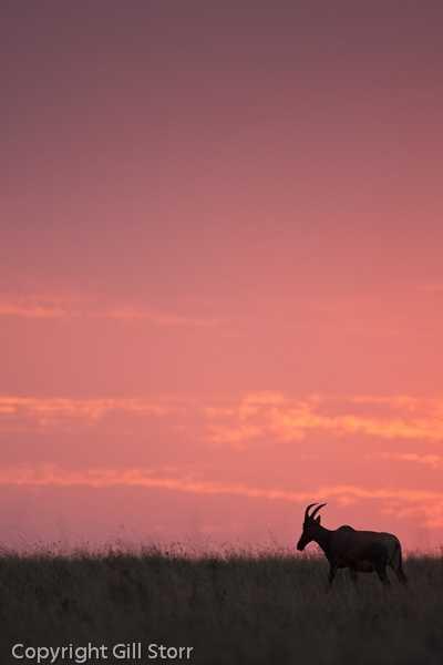 topi at sunset