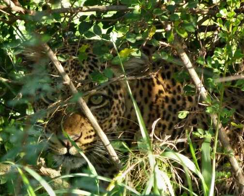 Leopard female peeking