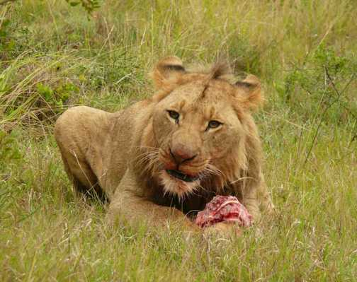 Young Male Lion with Warthog