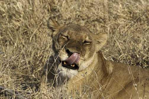 Moremi Lioness.