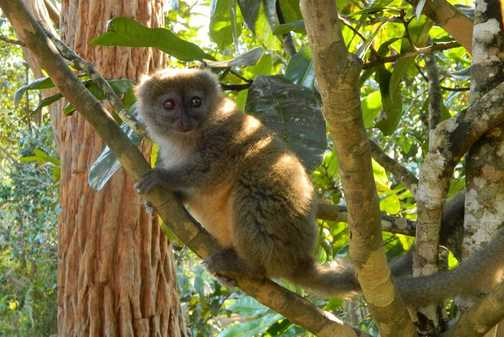 Bamboo lemur in sanctuary
