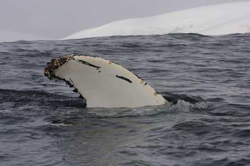 humpback waving - melchior islands