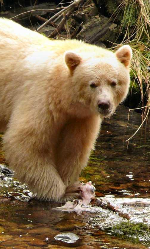Spirit Bear at Ryondan 1