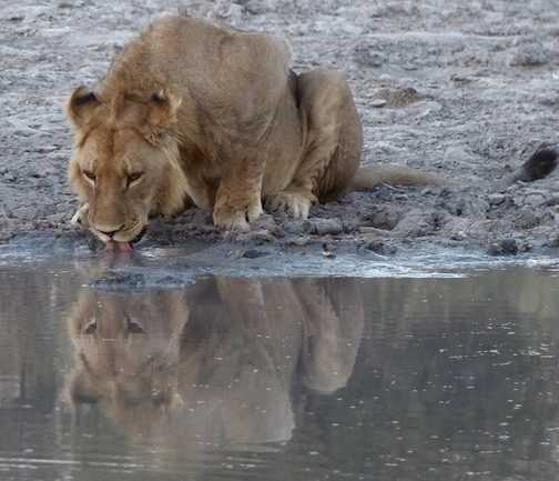 Young lion drinking