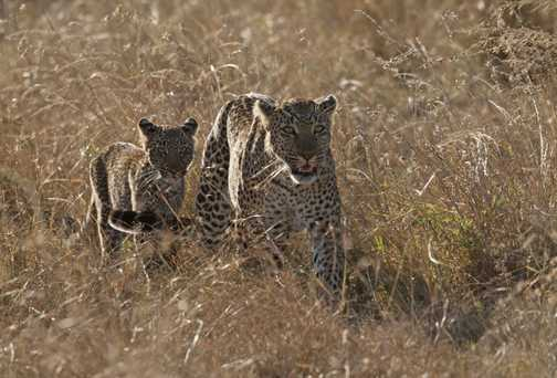Leopard and Cub In Golden Grass