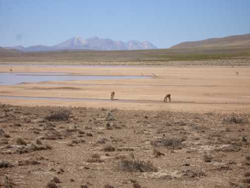The wide spaces of the altiplano, with vicunas in view