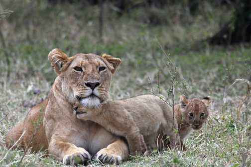 Lioness & 1 month old cubs