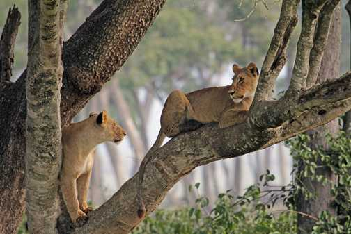 Arboreal Lions