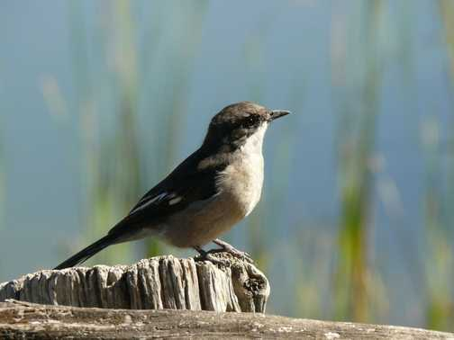 Is this a Flycatcher?