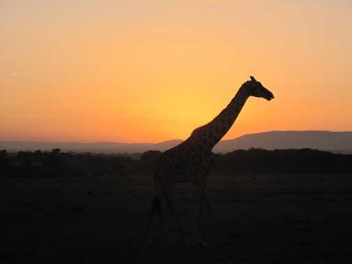 More in the Masai Mara at dawn