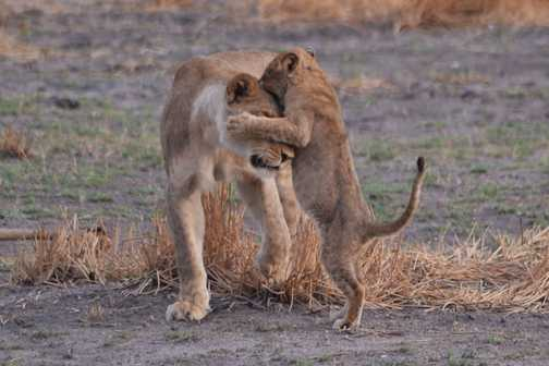 Lion cub playing