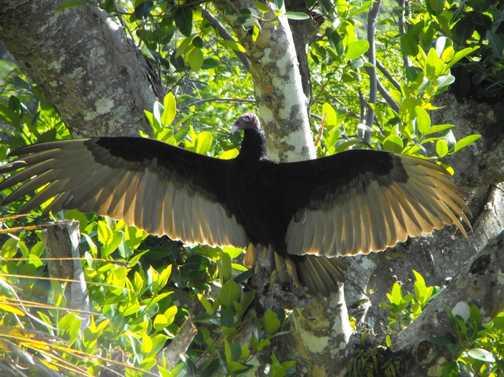 Turkey Vulture Sierra Maestra