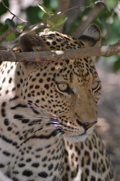 Our first leopard