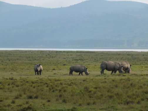 Jackson & the curious giraffe, Lake Nakuru
